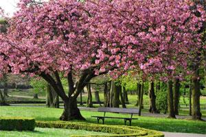Czereśnia (drzewo) 23