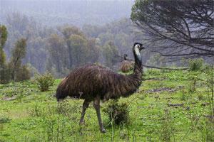 Znaczenie snu emu