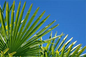 Gałązka palmowa