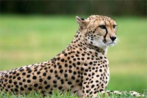 Znaczenie snu gepard
