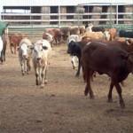 Handlarz zwierzętami gospodarskimi