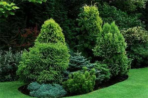 Iglaste drzewa 6