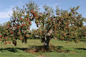 Znaczenie snu jabłoń