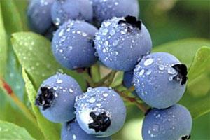 Znaczenie snu jagody