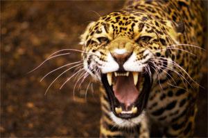 Znaczenie snu jaguar