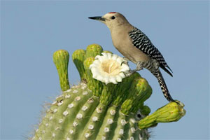 Kaktus 17