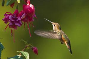 Znaczenie snu koliber