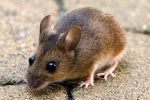 Znaczenie snu mysz