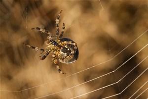 Znaczenie snu pająk krzyżak