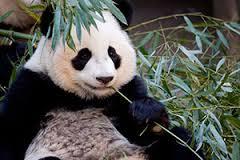Panda 38