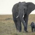 Trąba słonia