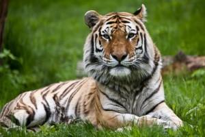 Znaczenie snu tygrys