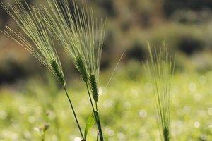 Źdźbło trawy 39