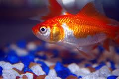 Znaczenie snu złota rybka