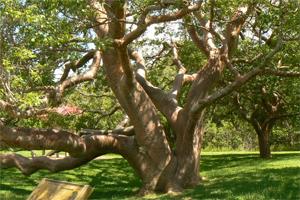 Sen o drzewie