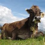 Sen o krowie/kozie
