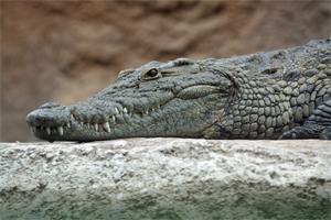 Sen o krokodylu
